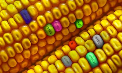 Bt-Corn: What It Is and How It Works | Entomology