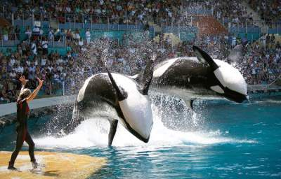A Proposed Bill by California Assemblyman Could Ban Orca Shows