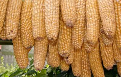 Huge: China Refused 887,000 Tons of US GMO Corn, but May Accept Syngenta's MIR162 Corn