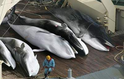9 ICJ Whale Ruling Questions Answered: Will Japan Abide by the Judgment?