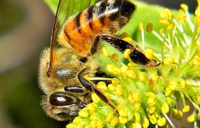 Pesticides Destroy Bees' Ability to Carry Pollen, Protein