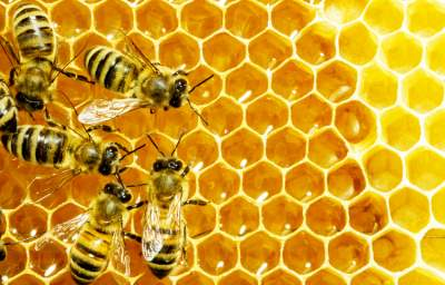 Citizen Scientists Track Bee Health and Shed Light on Colony Collapse Disorder