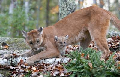 Cougar Population Increases in Recent Years