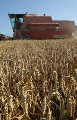 Unauthorized GM Wheat Crop Found on Farm in Oregon a Mystery