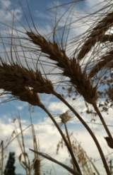 Unapproved Genetically Engineered Wheat Plants Found in Oregon