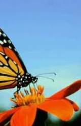Monarch Butterflies Making Winter Refuge Drops 59 Percent in Mexico