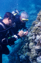 Conservationists Plant Coral Species Off Shores of Jamaica and Caribbean Islands
